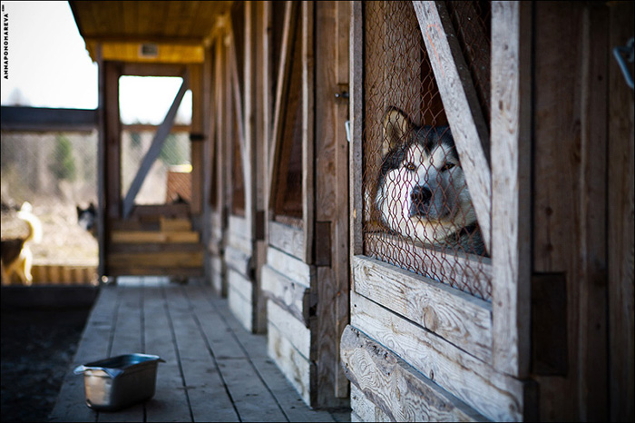 Сибирской Хаски